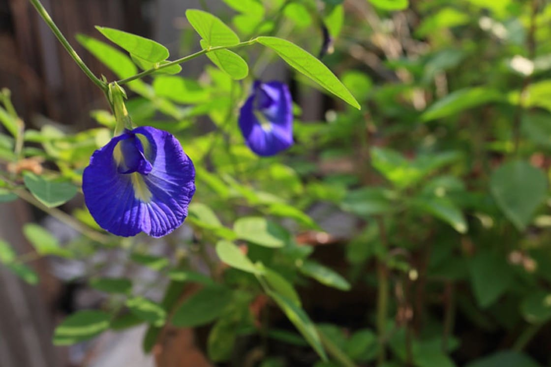 A beginners guide to foraging in singapore this well known creeper is usually cultivated for its pretty blue colours that can be used for dyeing food items or eaten directly as part of a dish mightylinksfo