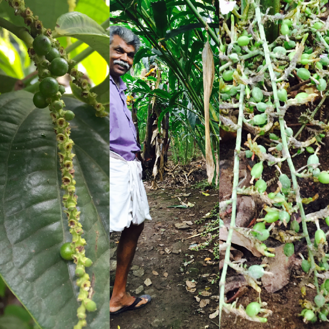 Pepper vines and cardamom