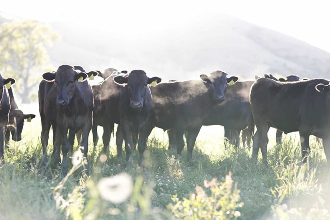 Blackmore's full-blood wagyu cattle