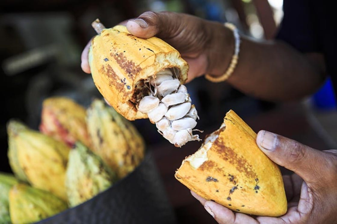 The fleshy white insides of a cocoa pod.