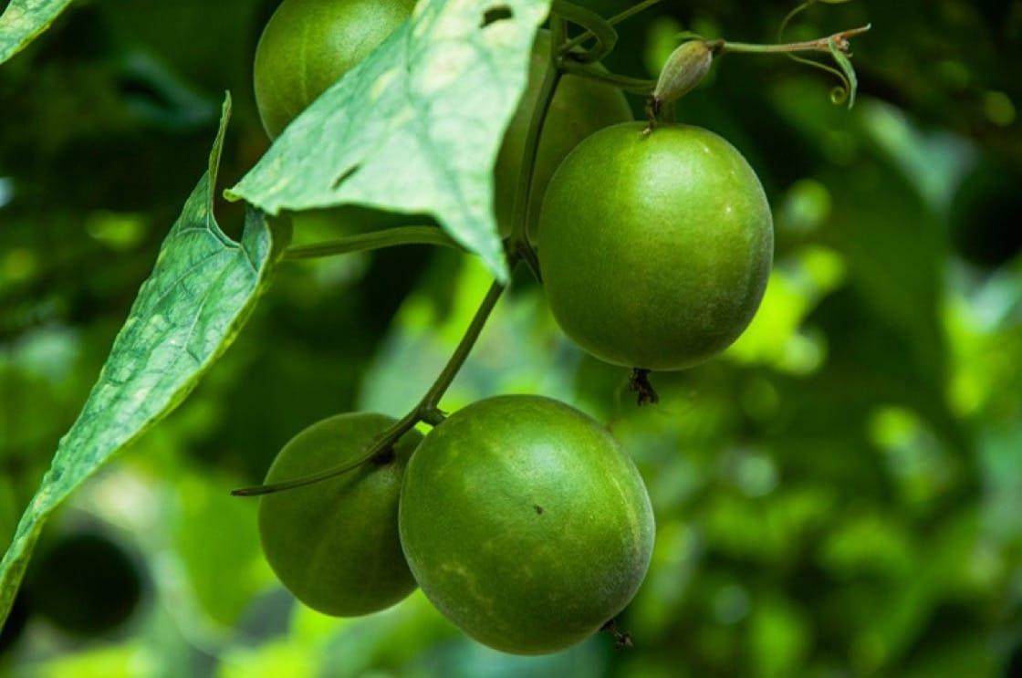 罗汉果在西方被捧为最理想的天然甜味剂