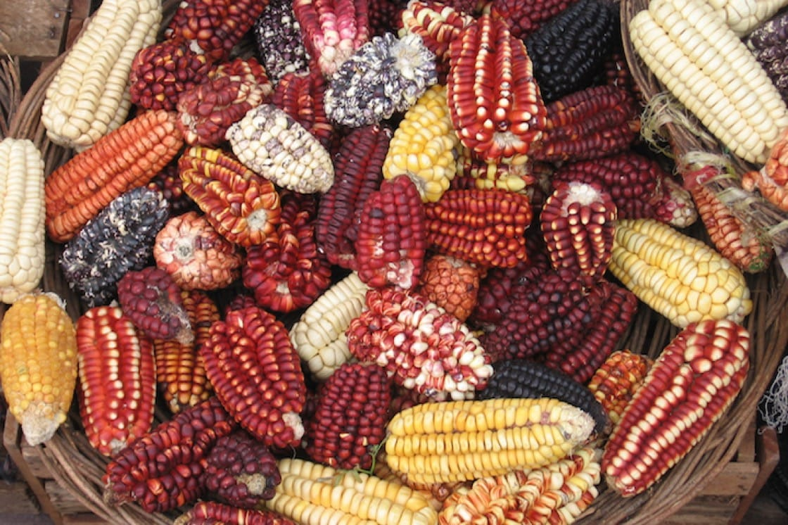 Different types of Peruvian corn.