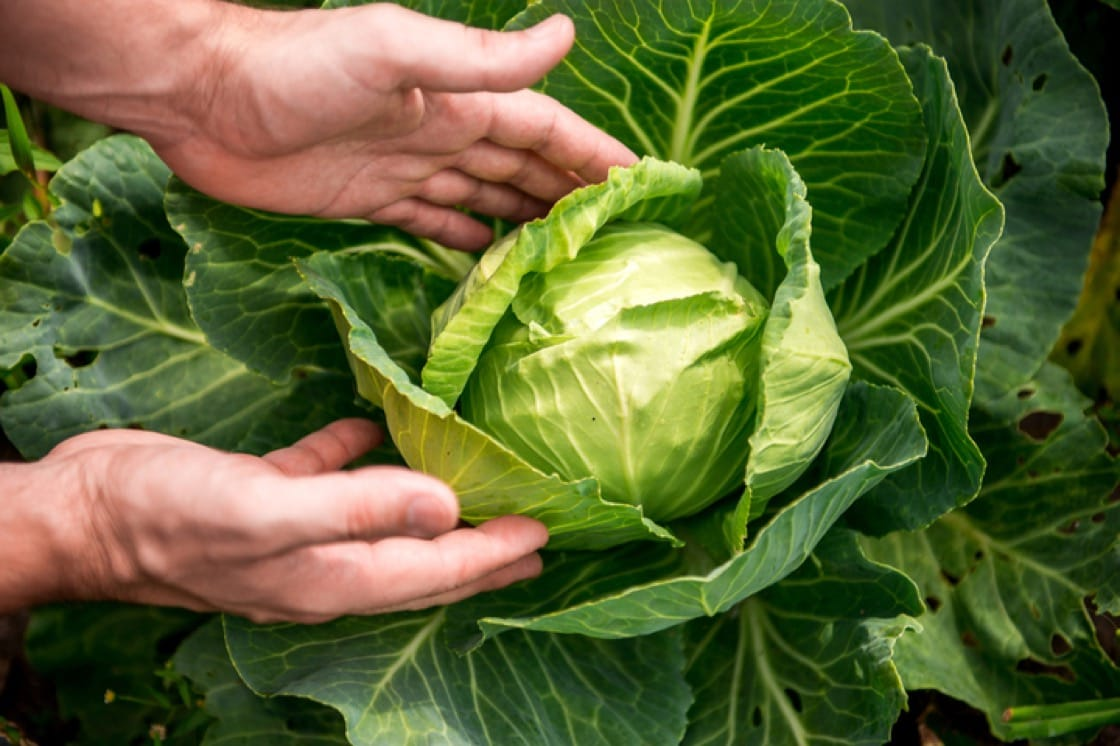 The harvesting of the Cannonball Cabbage