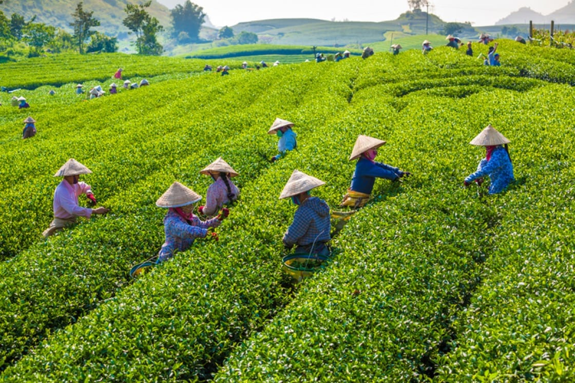 Farmers picking tea leaves by hand on the green tea fields in Moc Chau Highland, Vietnam.