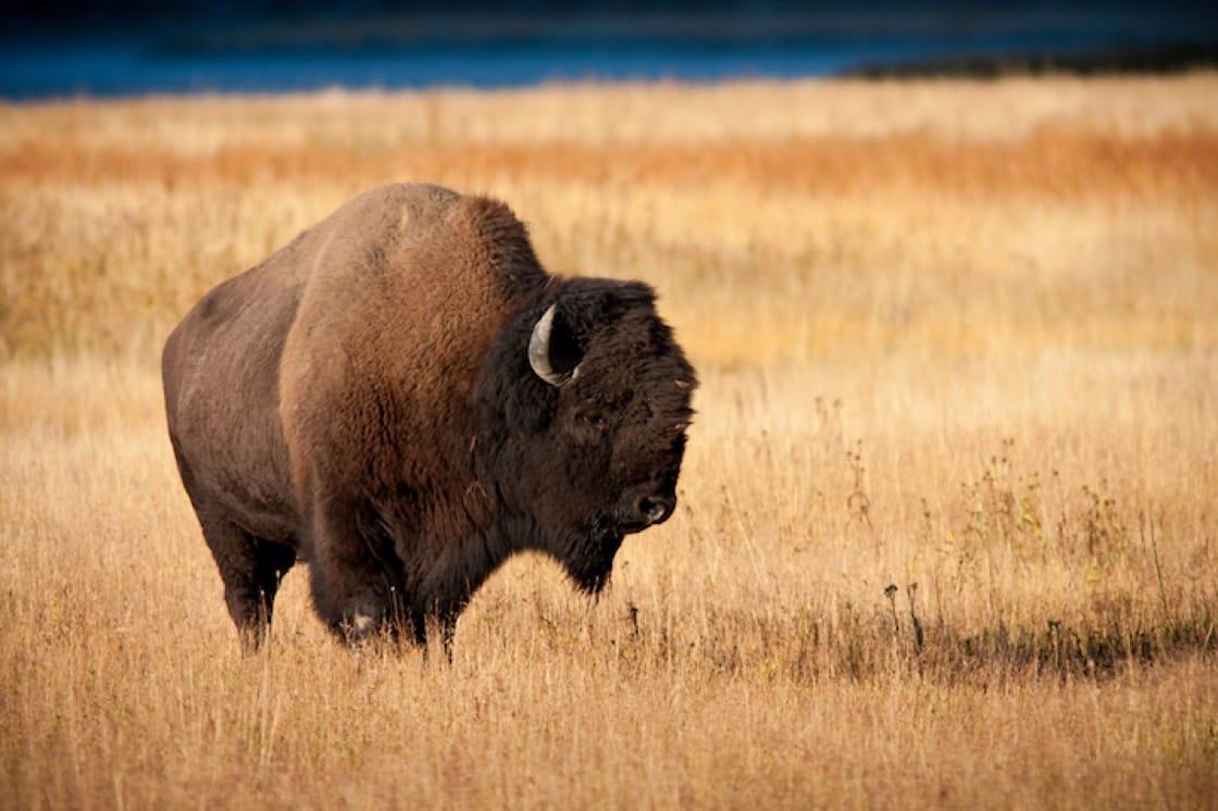 美洲野牛(資料圖片)