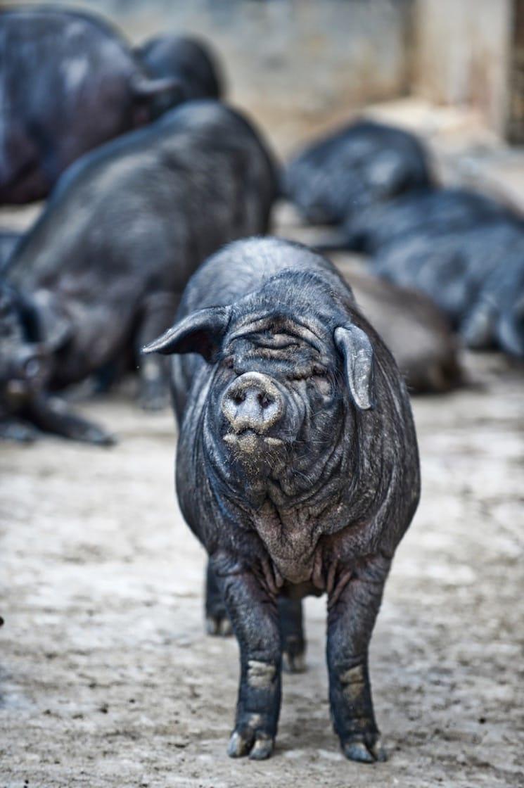 云南特种宣威「乌金猪」(摄影:邬智明)