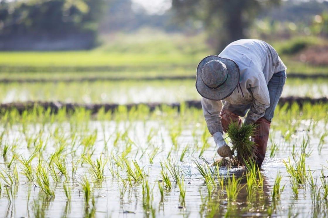 現時全世界約有一半人口食用稻米。(資料圖片)