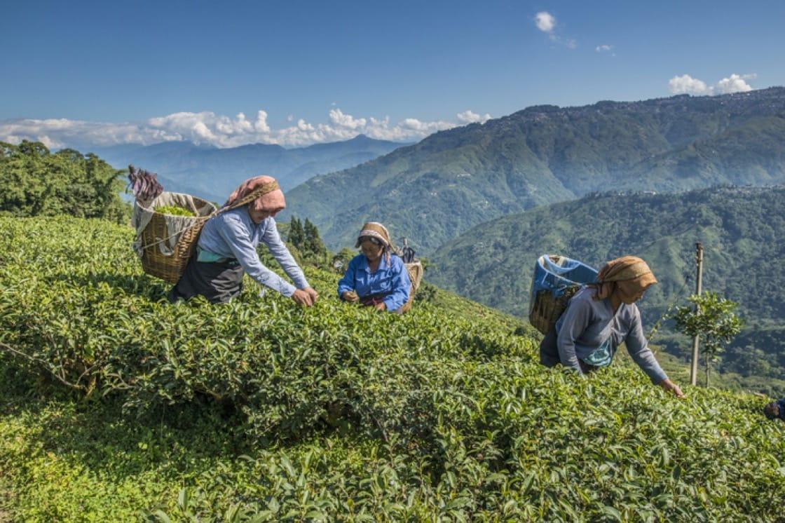 印度大吉嶺山區裡手工採茶。