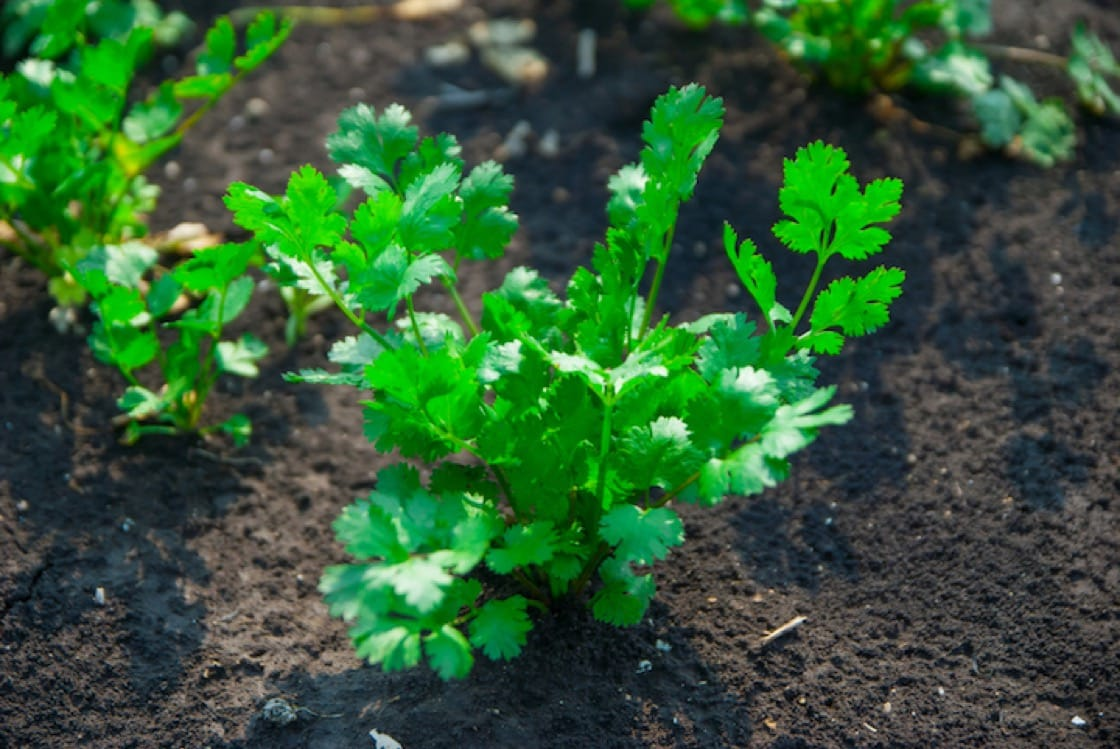 It's not easy to grow coriander. Drainage and hot and humid weather are among the biggest issues to overcome.
