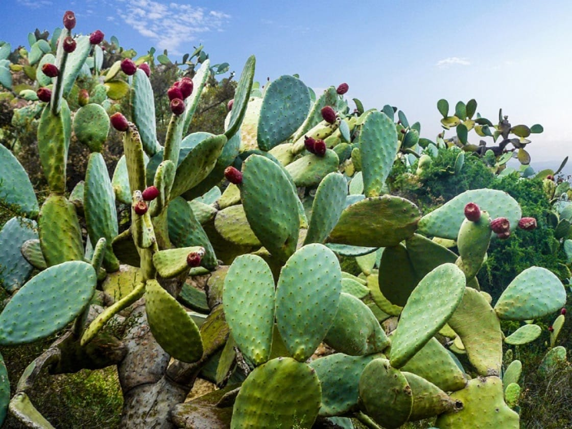 Water-rich cactus could be the next coconut water to break into the health food market.