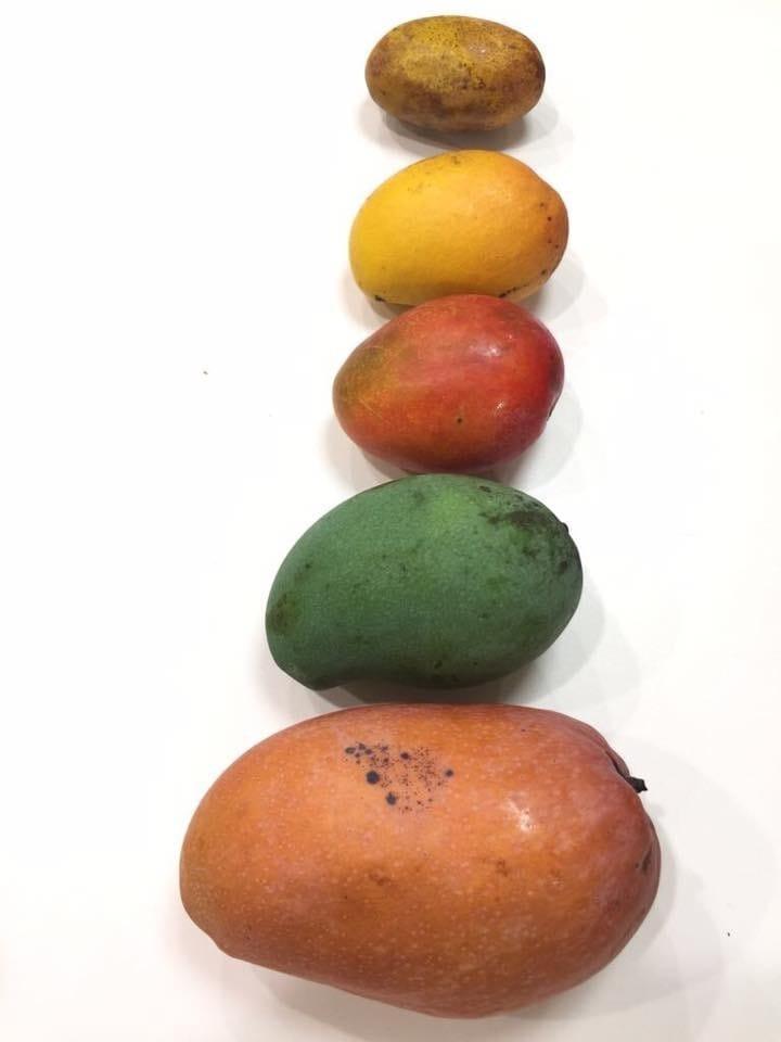 台灣芒果品種繁多,早前買下不同品種以作比較,從上至下:土芒果、蜜芒果、愛文、烏香芒果、玉文芒。(攝影:鄔智明)
