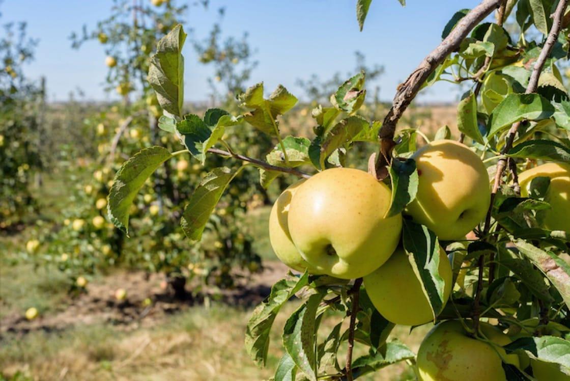 金冠蘋果(Golden Delicious)