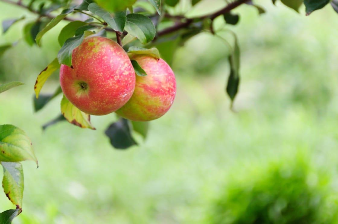 蜜脆蘋果(Honeycrisp)