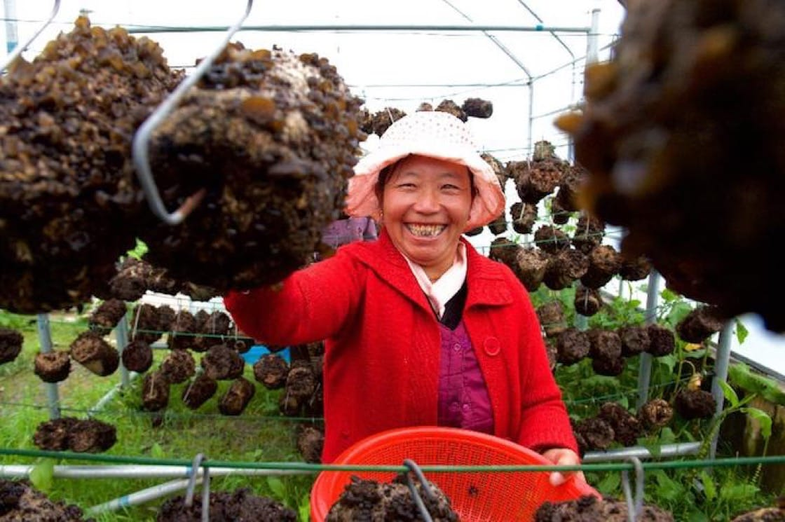 Yadong Black Fungus is one of the most prized Tibetan ingredients. (Credit: Vtibet)