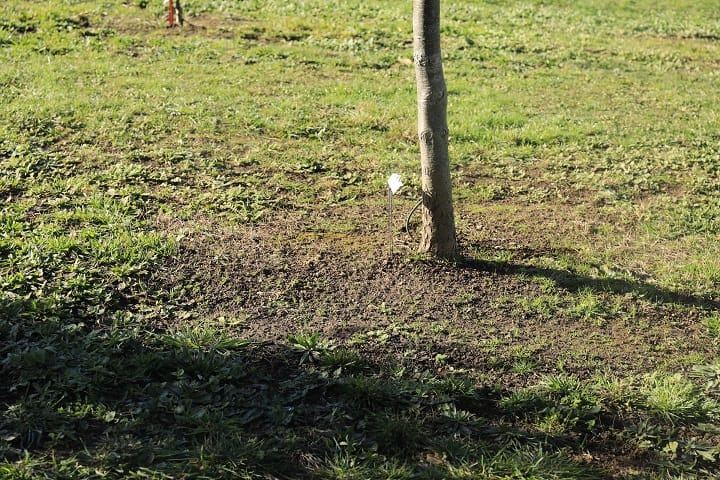 The black circle surrounding the host tree indicates truffle is growing underneath. It's known to the farmers as brulé.