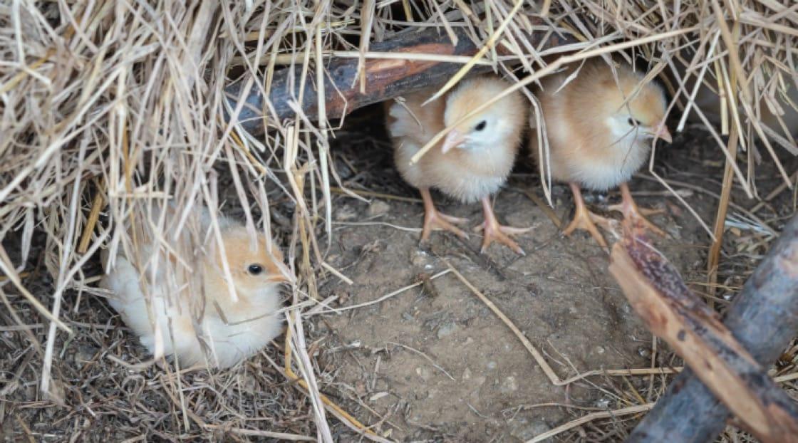 ไก่ที่เกิดและเติบโตในฟาร์ม<br>เครดิตภาพจาก : Patrick Jacobs