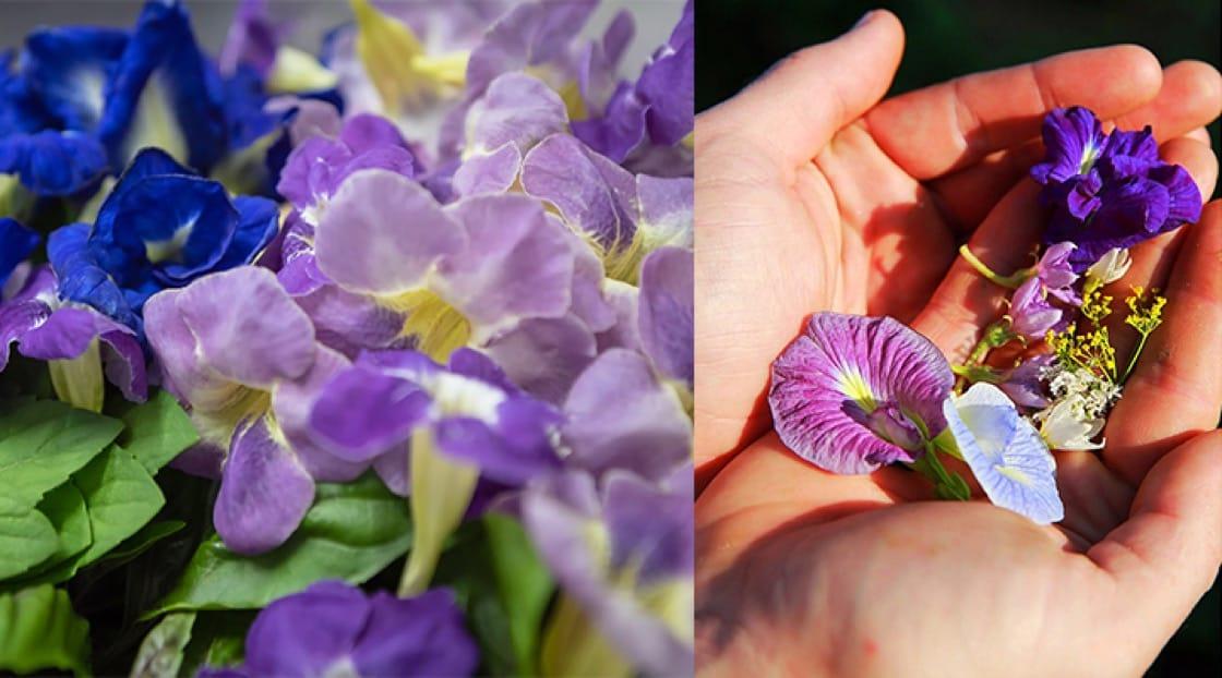 ดอกอัญชัญสี่สีเป็นอีกหนึ่งดอกไม้ที่ปลูกในฟาร์มและทานได้ <br>เครดิตภาพจาก : Kehakaset Magazine<br>เครดิตภาพจาก : Patrick Jacobs
