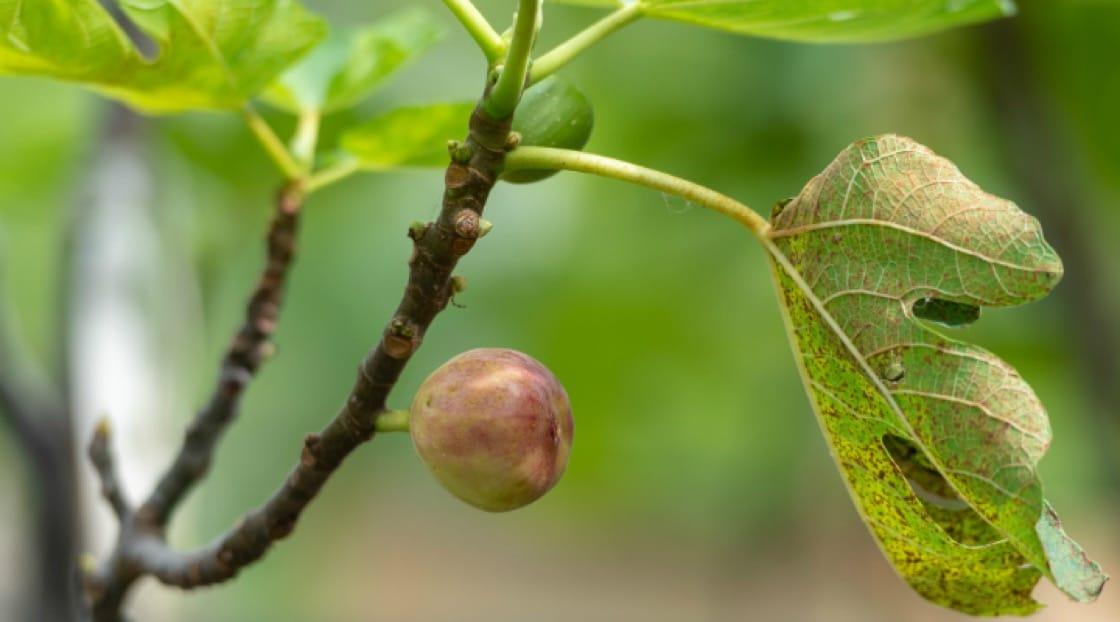 มะเดื่อ หนึ่งในผลผลิตล่าสุดของฟาร์ม<br>เครดิตภาพจาก : Patrick Jacobs