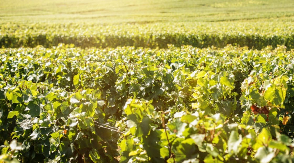 Climate And Terroir The Key Behind Sparkling Wine S