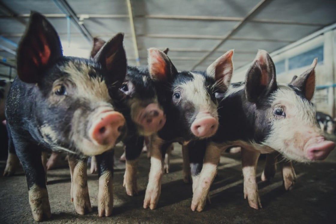 不同品種的豬生長期不同、換肉率不同,也影響風味與口感。圖為盤克夏黑豬,又稱六白豬。(資料圖片)