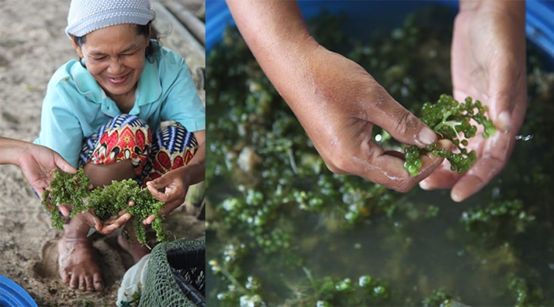 Sea grapes. Photo credit: Mimi Grachangnetara.