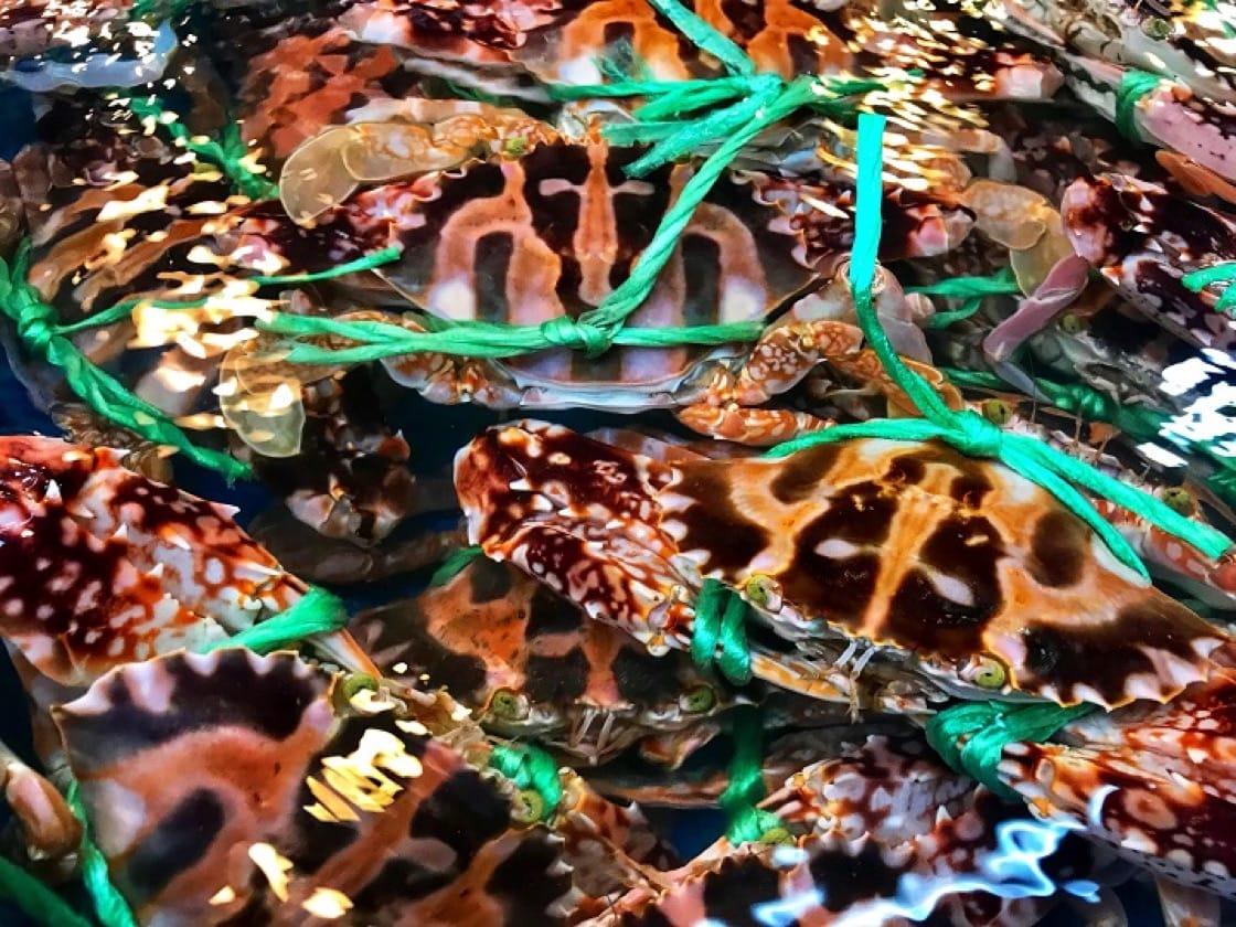 以螢光綠色的特多龍繩綑綁,是萬里蟹的特徵。(新北市政府漁業及漁港事業管理處提供)