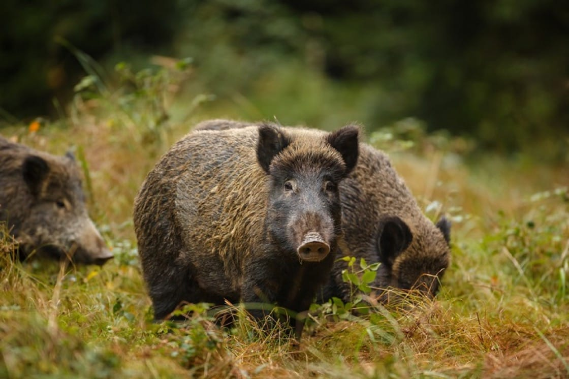 野豬比養豬味質更有彈性,脂肪也較少。(資料圖片)