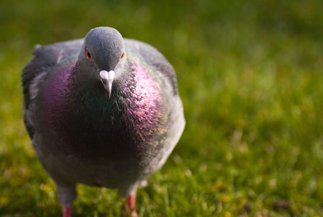 野鴿是法國人常用的食材。(資料圖片)