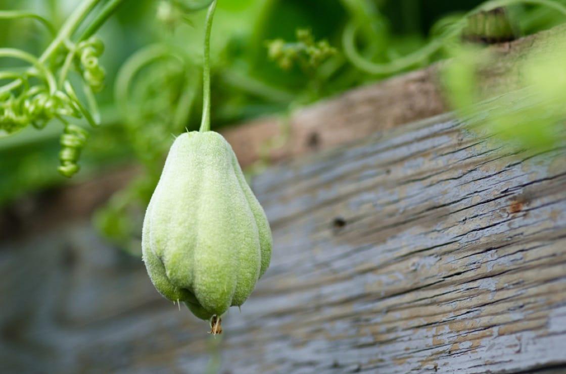 佛手瓜是新興的超級食物。(資料圖片)