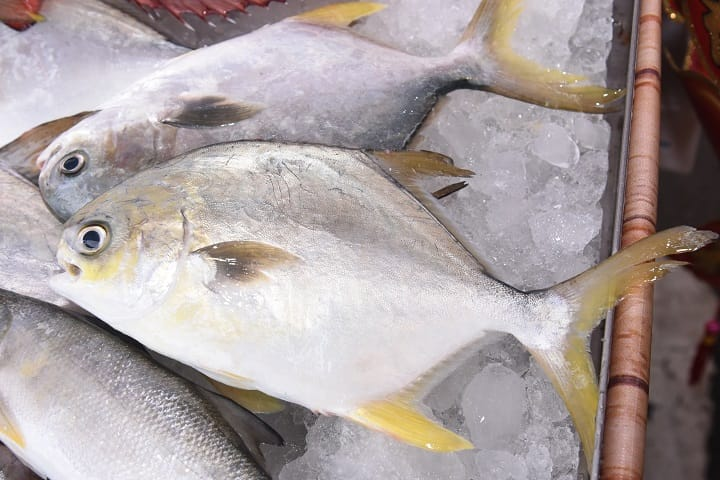 金鯧尾部呈淡黃色,更有金銀財寶的象徵。(圖片:漁業署提供;財團法人台灣養殖漁業發展基金會攝影)