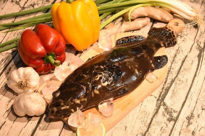 龍虎斑肉質緊實,又膠原蛋白豐富,料理上適合清蒸。(漁業署提供;財團法人台灣養殖漁業發展基金會攝影)