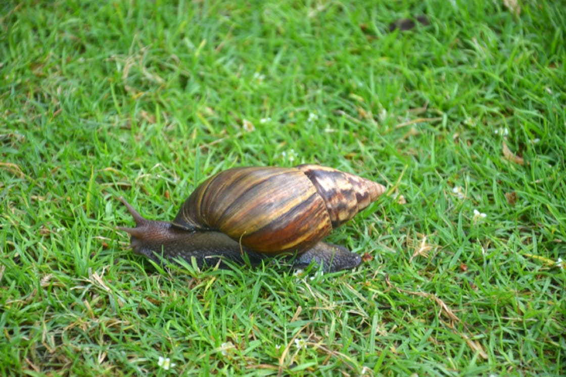 African land snails commonly found in Singapore are an edible species (Pic: Shutterstock)