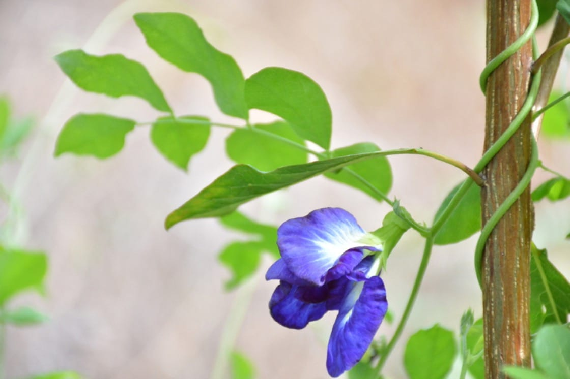 Blue pea flower plants are creeping vines that help nourish the soil they are planted in (Pic: Shutterstock)