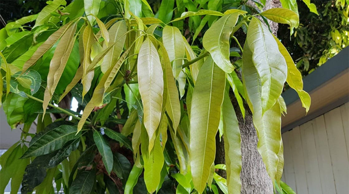 Thais believe that young mango leaves help alleviate respiratory problems. Photo credit: Mimi Grachangnetara.