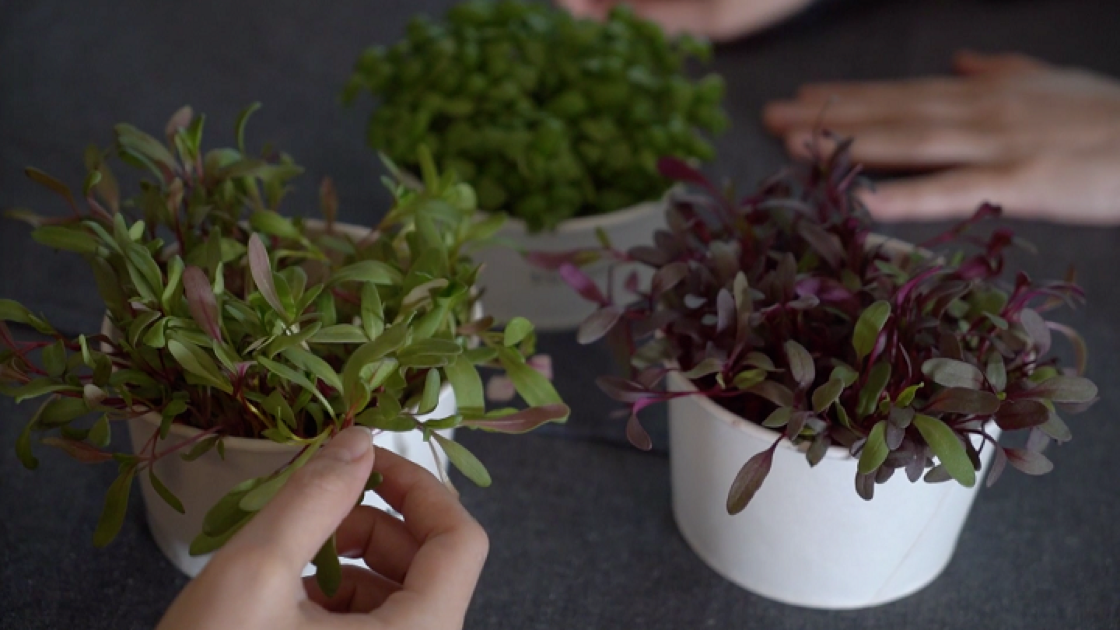 Microgreens may be small in size, but they are rich in nutritional value.(Photo: Joe Chan)