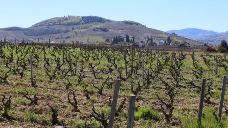 The presence of weeds is common in organic vineyards