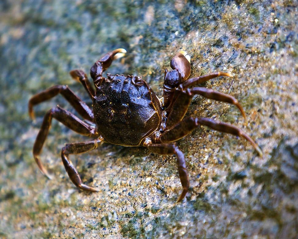 Chinese mitten crab (chamge)