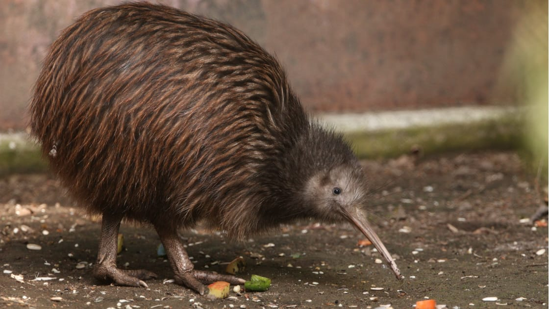 奇異果以新西蘭當地的鳥命名。(圖片來源:Shutterstock)