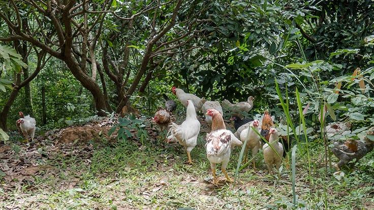 Klong Phai's poultry farm.