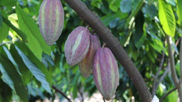 Persooone started his own cacao plantation in Mexico seven years ago (Pic: The Chocolate Line)