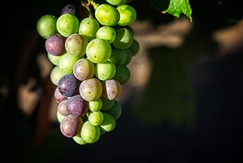 Rodgers Creek Pucci Close Up Verasion.jpg