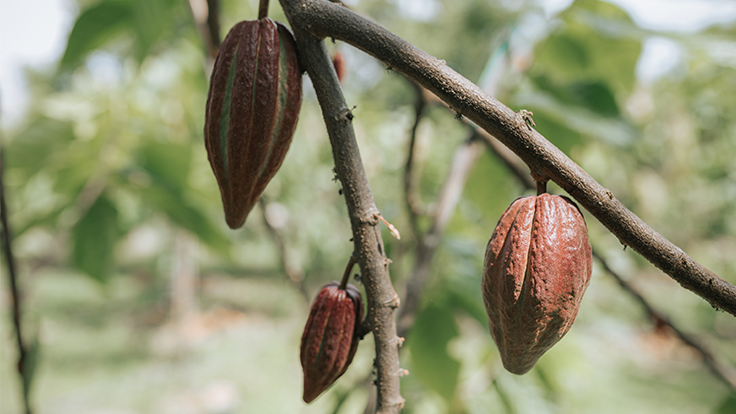 Cacao pods from where cocoa beans derive.