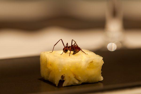 Ants from the Amazon rainforest are served on pineapple cubes at Atala's two-MICHELIN-starred restaurant D.O.M.