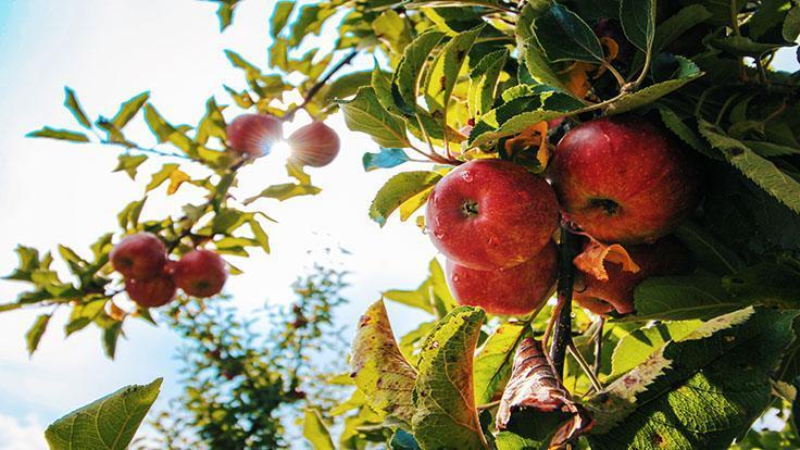 雖然其中一位米其林評審員小時候常吃蘋果,但他並沒有因此討厭蘋果,反而吃蘋果吃上癮。