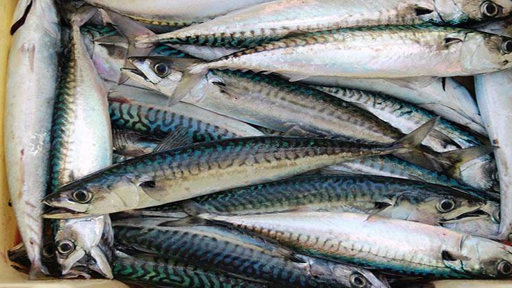 鯖魚的肥美鮮味,能與壽司的醋飯完美搭配。