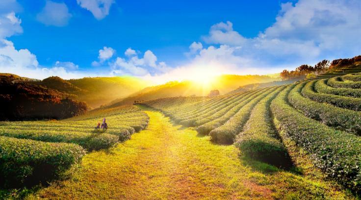 Chiang Rai-Tea Plantations-Doi Mae Salong