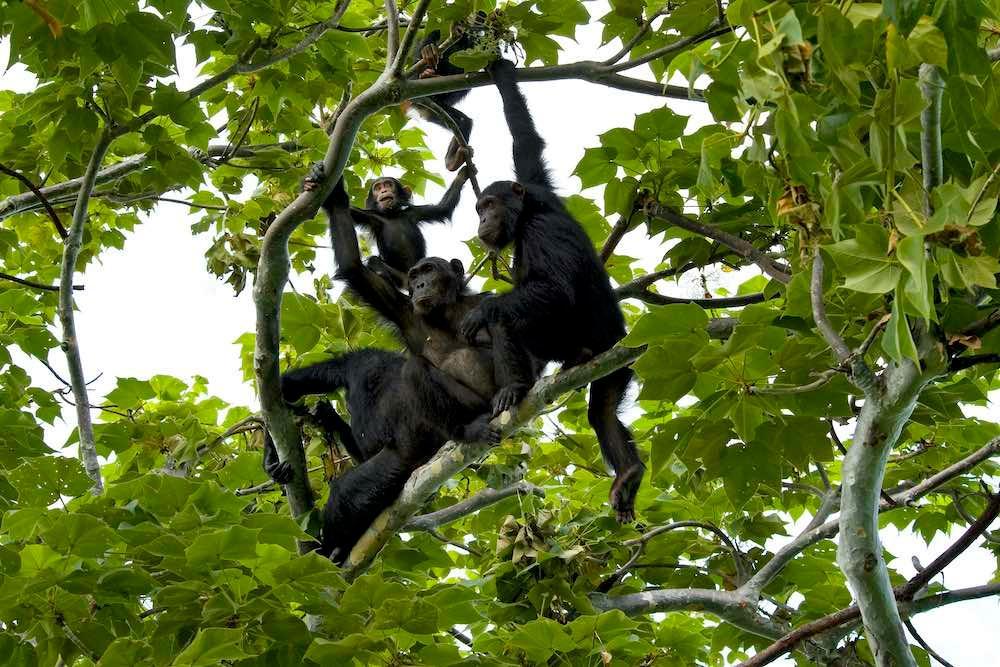 ครอบครัวชิมแปนซีที่อาศัยอยู่ในอุทยานแห่งชาติกอมเบ (©: guenterguni/iStock)