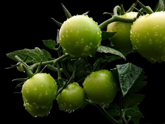 Green Tomatoes - Photo by Radfotosonn--8242629