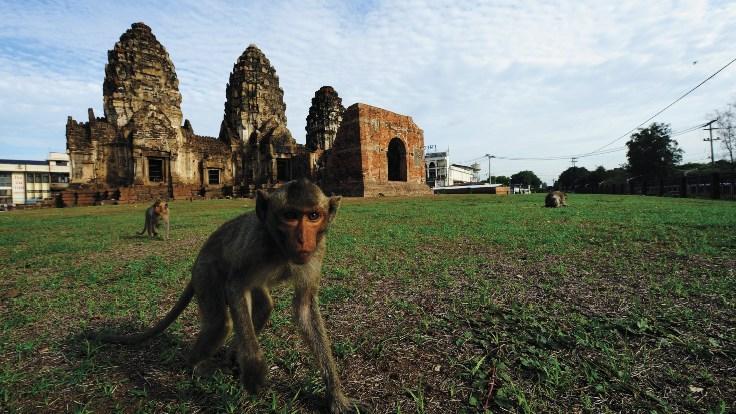 a Lopburi monkey