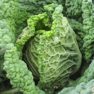 Cabbage_Savoy_growing.jpg